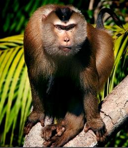 Macaque-crop1