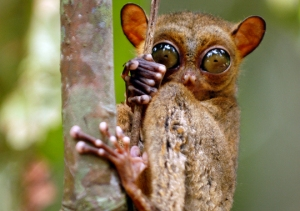 The very rare Philippines Tarsier